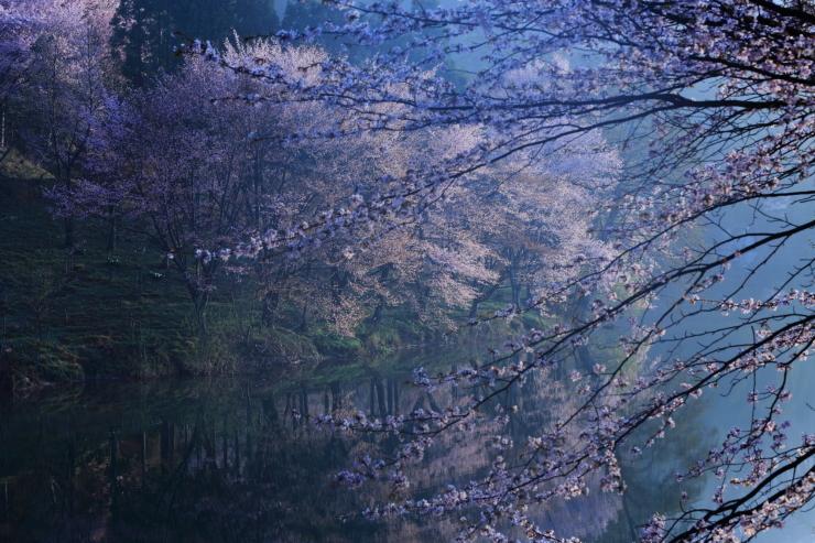 桜・響く 2019~中綱湖オオヤマザクラ~_d0349418_17385473.jpg