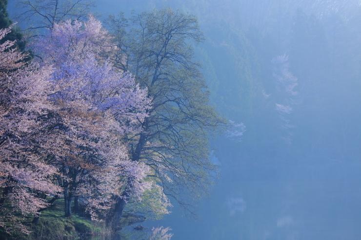 桜・響く 2019~中綱湖オオヤマザクラ~_d0349418_17393022.jpg