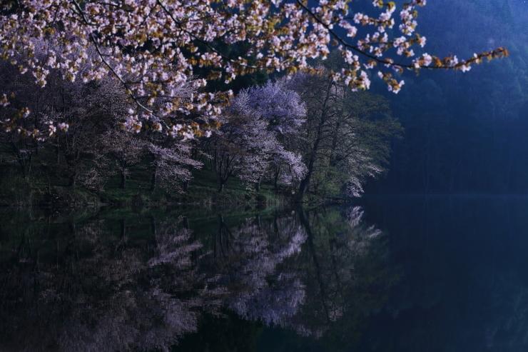 桜・響く 2019~中綱湖オオヤマザクラ~_d0349418_17394560.jpg