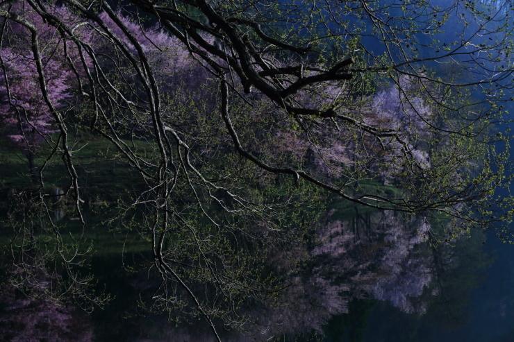 桜・響く 2019~中綱湖オオヤマザクラ~_d0349418_17395793.jpg