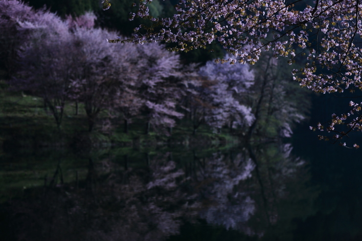 桜・響く 2019~中綱湖オオヤマザクラ~_d0349418_17402321.jpg