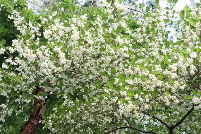小さい白い花 エゴノキ  & センダン(栴檀)の木_d0150720_09511661.jpg