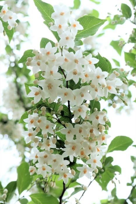 小さい白い花 エゴノキ  & センダン(栴檀)の木_d0150720_09514165.jpg