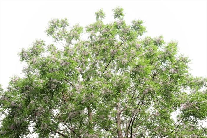 小さい白い花 エゴノキ  & センダン(栴檀)の木_d0150720_10174639.jpg