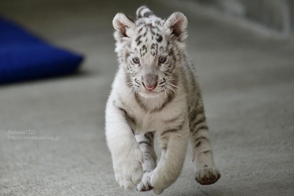 2019.5.18 宇都宮動物園☆ホワイトタイガーのグーナくん♪【White tiger baby】_f0250322_2024497.jpg
