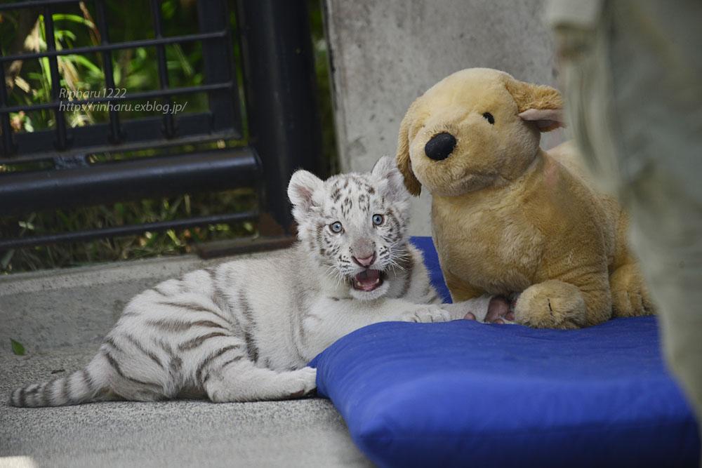 2019.5.18 宇都宮動物園☆ホワイトタイガーのグーナくん♪【White tiger baby】_f0250322_20245973.jpg