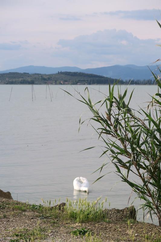 猫と白鳥とトラジメーノ湖_f0234936_7373888.jpg