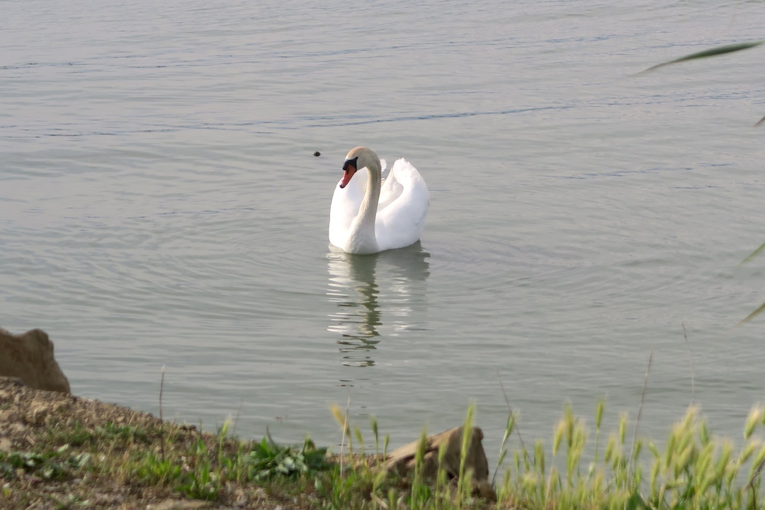 猫と白鳥とトラジメーノ湖_f0234936_739595.jpg