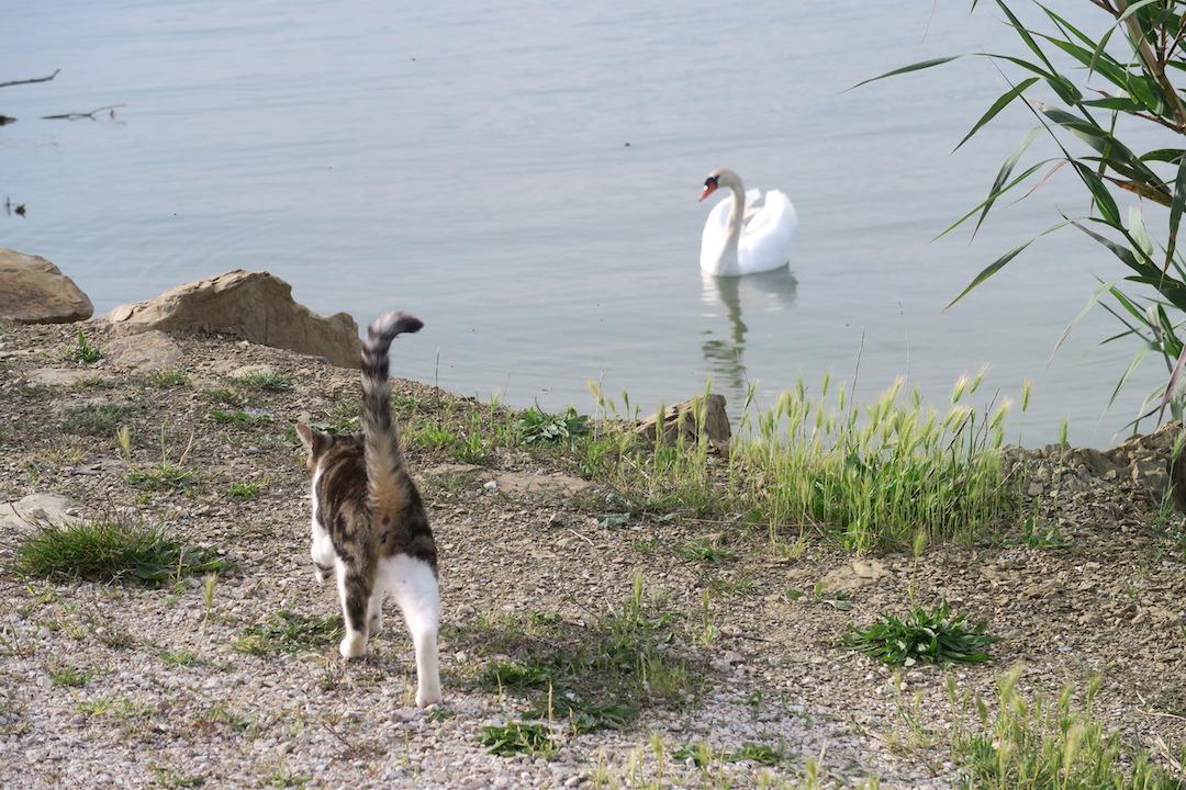 猫と白鳥とトラジメーノ湖_f0234936_740543.jpg
