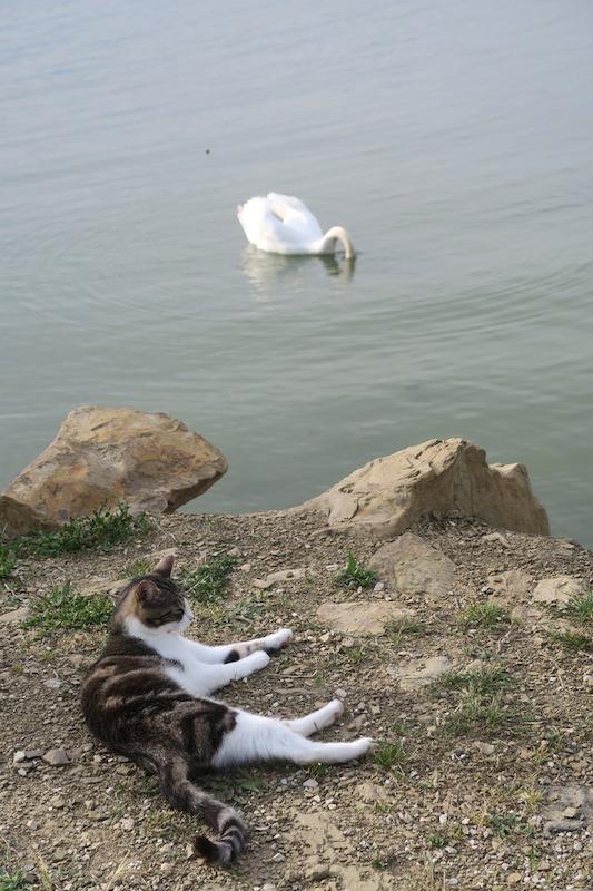 猫と白鳥とトラジメーノ湖_f0234936_742158.jpg