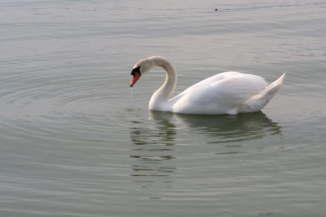 猫と白鳥とトラジメーノ湖_f0234936_7435868.jpg