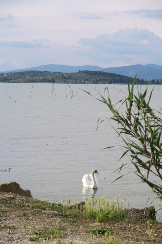 猫と白鳥とトラジメーノ湖_f0234936_8162610.jpg