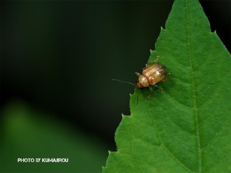 久米島のハムシ科昆虫_b0192746_15111757.jpg