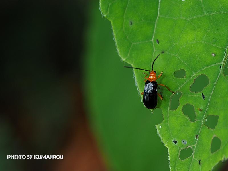 久米島のハムシ科昆虫_b0192746_15155345.jpg
