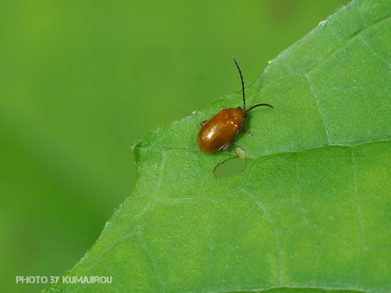 久米島のハムシ科昆虫_b0192746_15315904.jpg