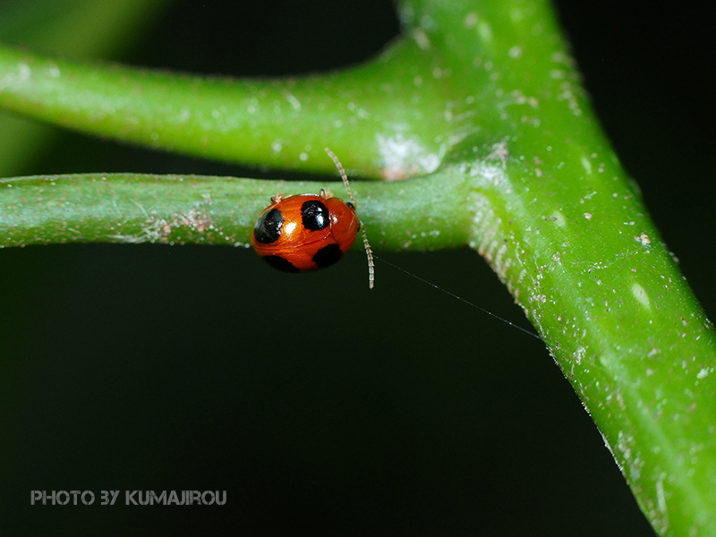 久米島のハムシ科昆虫_b0192746_15372636.jpg