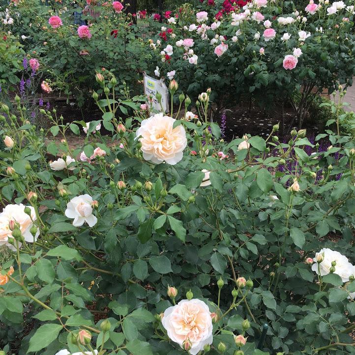 2019/5駒場野公園バラ花壇_a0094959_02502118.jpg