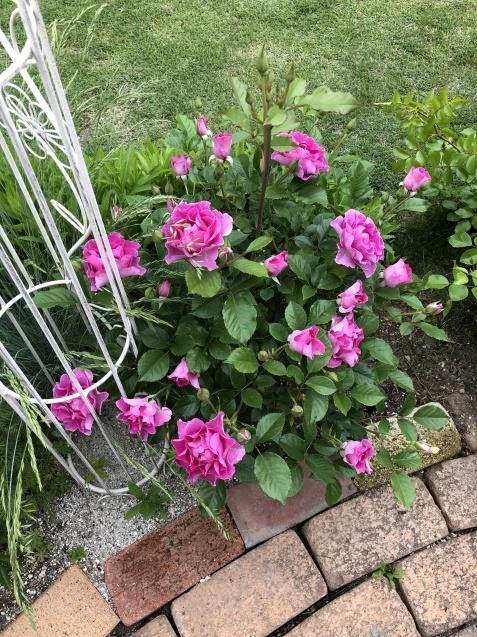 ガゼボを囲うバラや草花たち_a0243064_08552985.jpg
