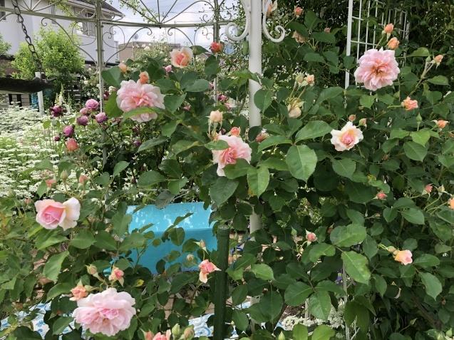 ガゼボを囲うバラや草花たち_a0243064_09184988.jpg