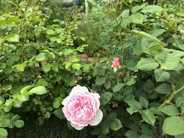 ガゼボを囲うバラや草花たち_a0243064_09273231.jpg