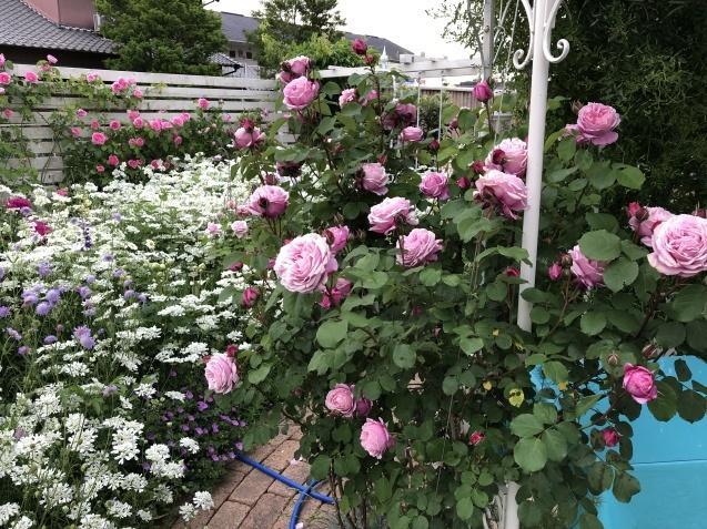 ガゼボを囲うバラや草花たち_a0243064_09400691.jpg