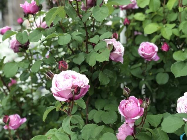 ガゼボを囲うバラや草花たち_a0243064_09403458.jpg