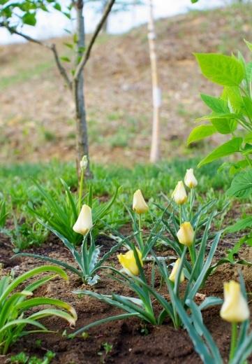 原種チューリップとウワミズザクラの花_c0110869_19331632.jpg