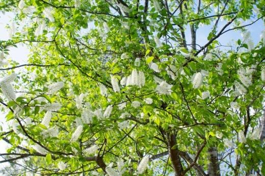 原種チューリップとウワミズザクラの花_c0110869_19333351.jpg