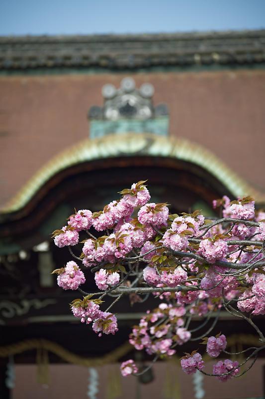 桜巡り2019@六孫王神社_f0032011_19080070.jpg