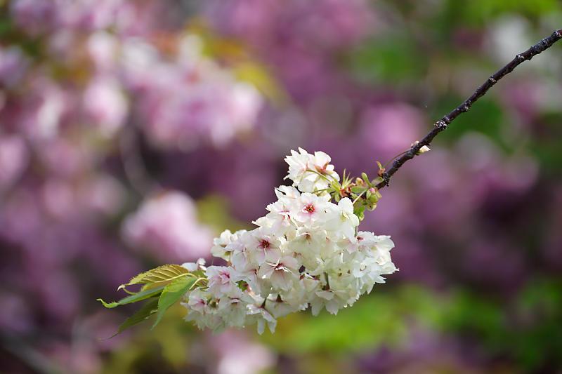 桜巡り2019@六孫王神社_f0032011_19080082.jpg