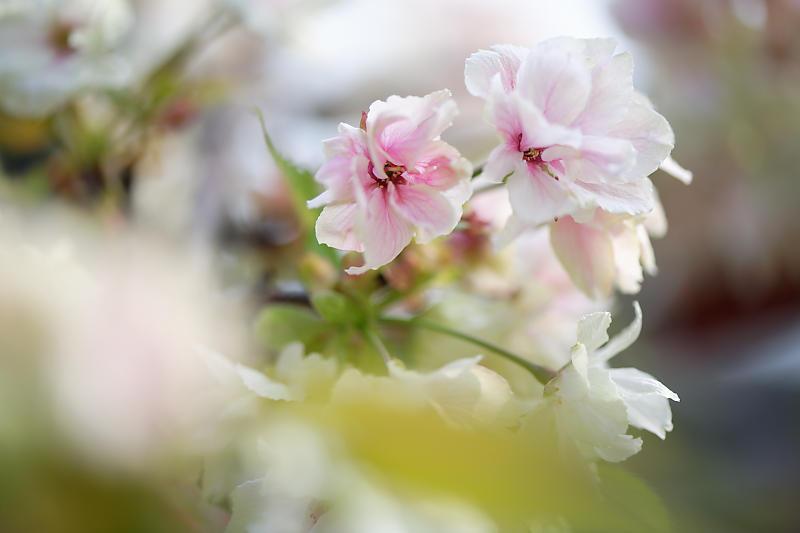 桜巡り2019@六孫王神社_f0032011_19080086.jpg