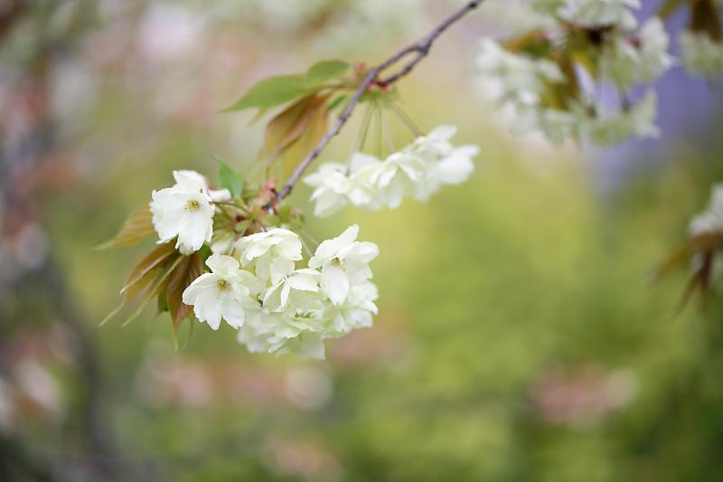 桜巡り2019@六孫王神社_f0032011_19080134.jpg
