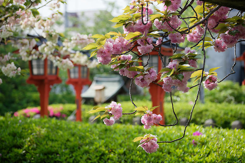 桜巡り2019@六孫王神社_f0032011_19110992.jpg