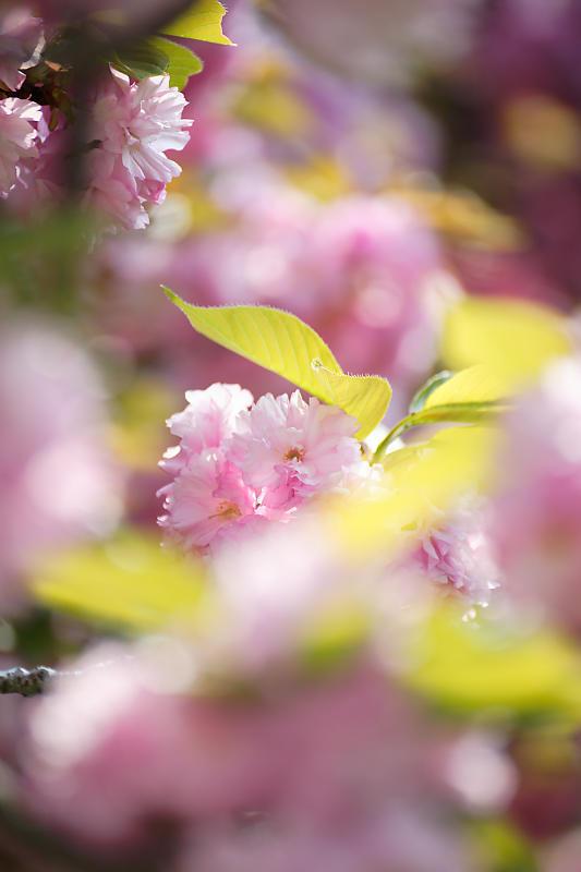 桜巡り2019@六孫王神社_f0032011_19131142.jpg