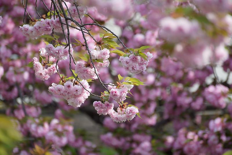 桜巡り2019@六孫王神社_f0032011_19131171.jpg