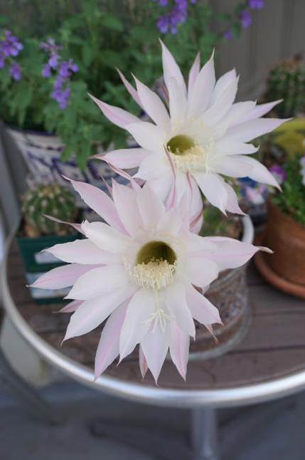 サボテンの花が咲いたよ、3周年。_d0348118_09045067.jpeg
