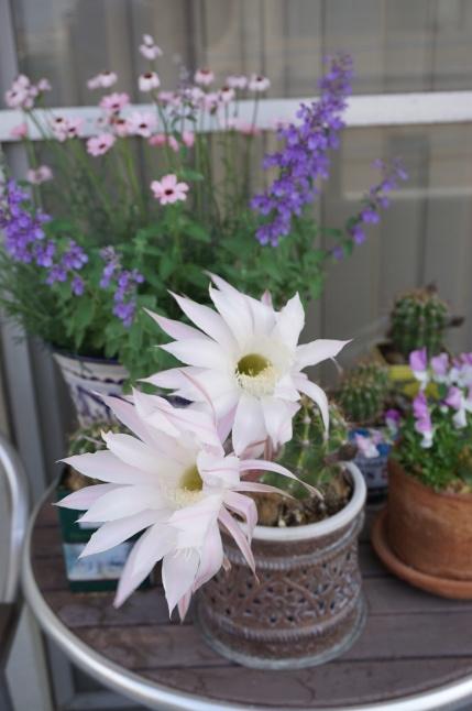 サボテンの花が咲いたよ、3周年。_d0348118_09050648.jpeg