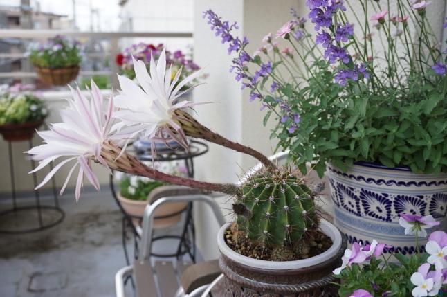 サボテンの花が咲いたよ、3周年。_d0348118_09180693.jpeg