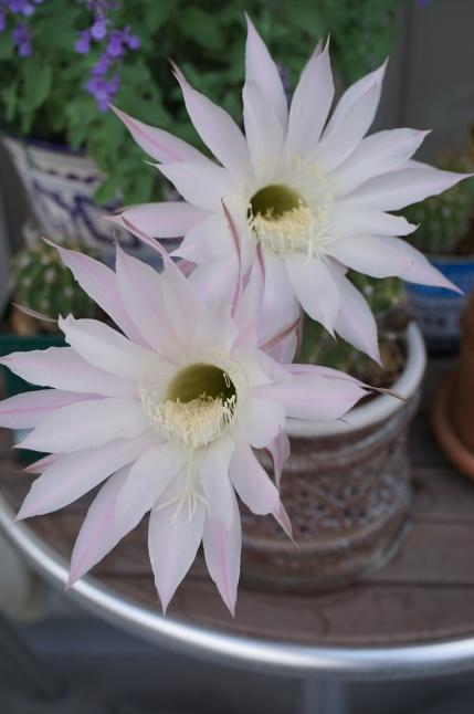 サボテンの花が咲いたよ、3周年。_d0348118_09185839.jpeg