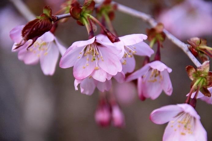令和桜もあとすこし 5月19日_f0113639_18204432.jpg