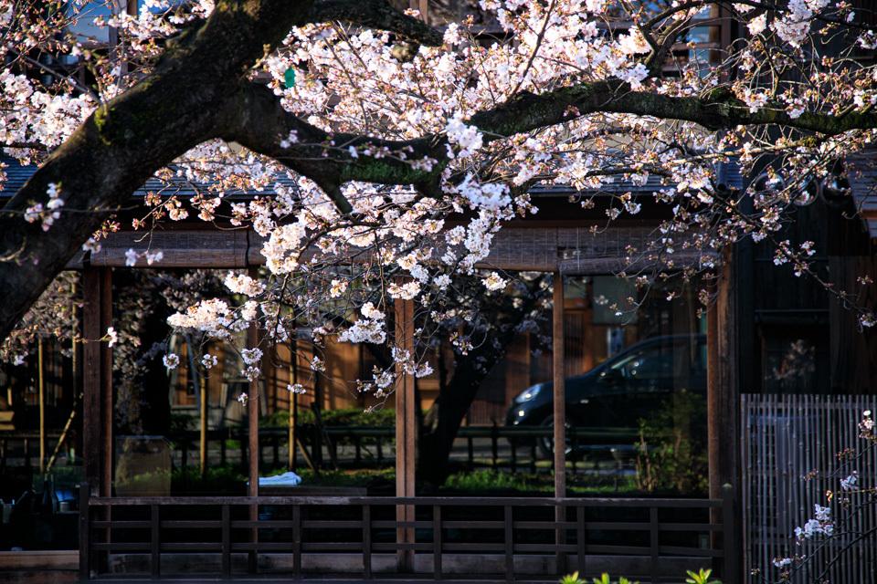 桜 2019!  ~祇園白川~_b0128581_20421523.jpg