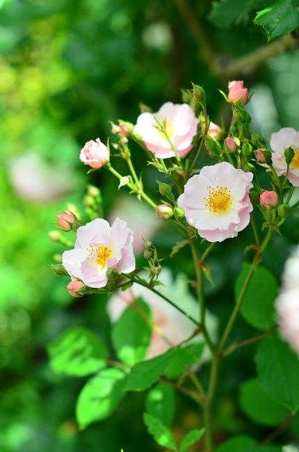薔薇満開の庭_d0025294_11301751.jpg