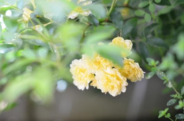 薔薇満開の庭_d0025294_11304627.jpg