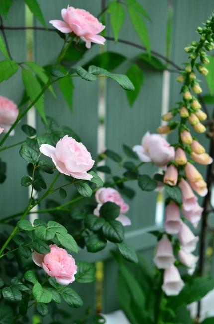 薔薇満開の庭_d0025294_11310118.jpg