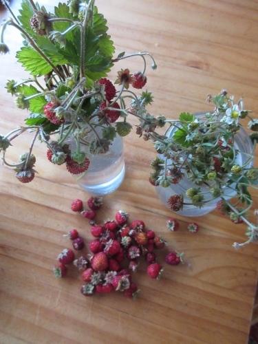イチゴ真っ盛り、サクランボもちょっとだけ。_e0341401_00362694.jpg