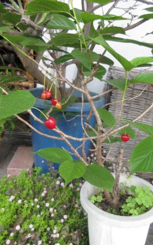 イチゴ真っ盛り、サクランボもちょっとだけ。_e0341401_00383534.jpg