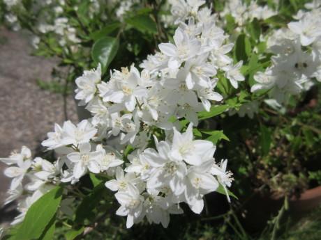 ノヂシャの種子を採る・自家製葡萄パン_a0203003_16045780.jpg