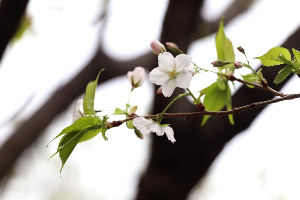 利根川上流の桜 - 2019年桜・上越線 -_b0190710_21544720.jpg