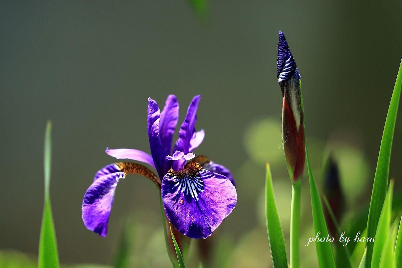 今日も咲きました_f0297537_16123689.jpg
