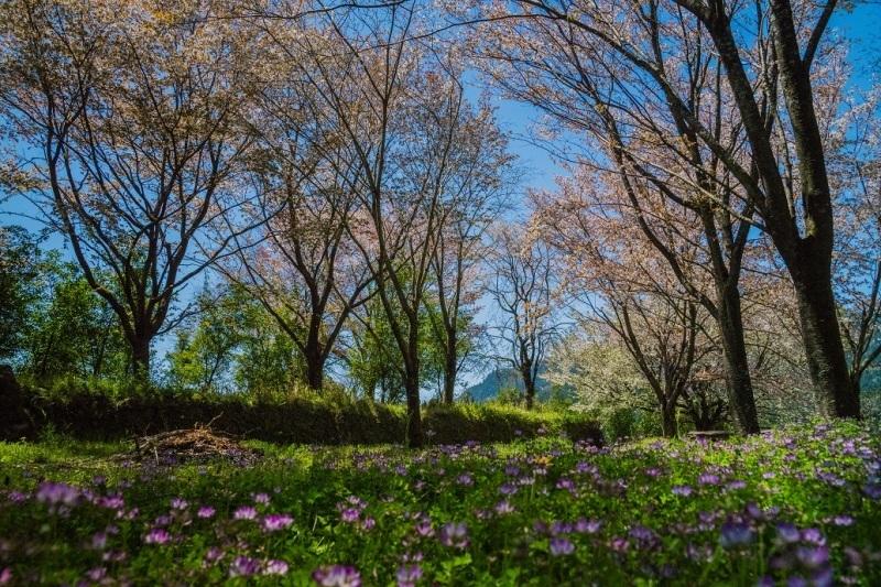 大原に咲く蓮華と桜_e0363038_11165775.jpg